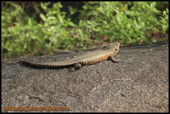 Otro lagarto acorazado gigante (8-11-2013)