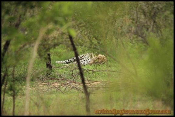 Leopardo tumbado (8-11-2013)