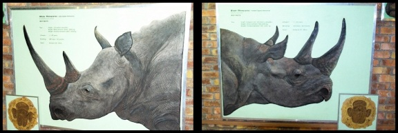 Rni blanco a la izquierda y rino negro a la derecha; María Martínez (9-11-2013)