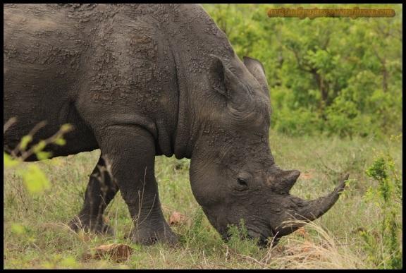 Rinoceronte blanco pastando (9-11-2013)