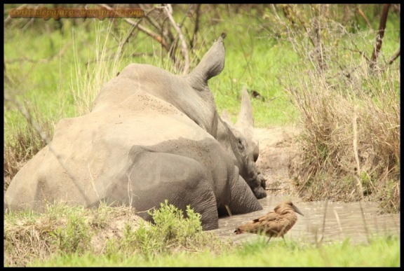 Rinoceronte con avemartillo cercano (9-11-2013)