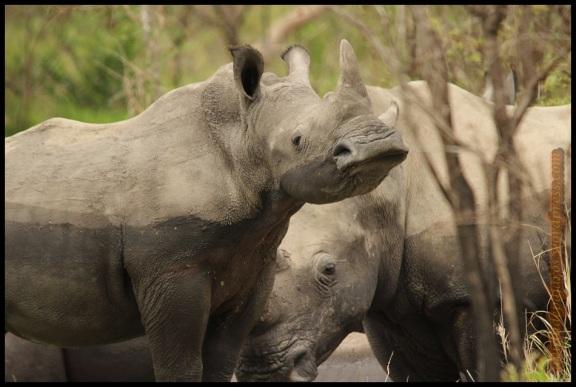 Rinoceronte blanco con su típica forma de morro redondeado (9-11-2013)