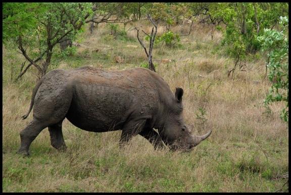 Rinoceronte; María Martínez (10-11-2013)