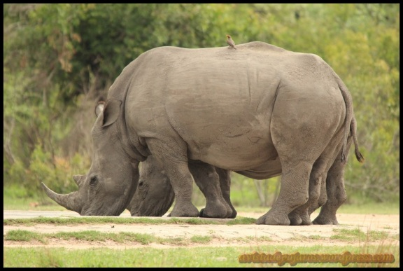 Rinocerontes (8-11-2013)