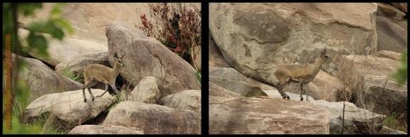 Saltarrocas moviéndose entre piedras (8-11-2013)