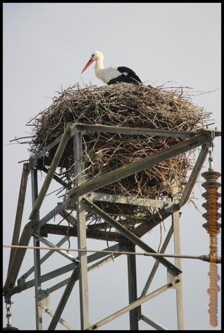 Cigüeña en el nido (15-3-2014)