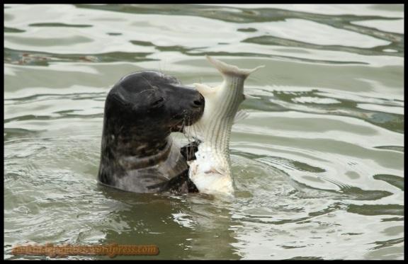 """""""Robustiana"""" mordisqueando el pescado (3-2-2014)"""