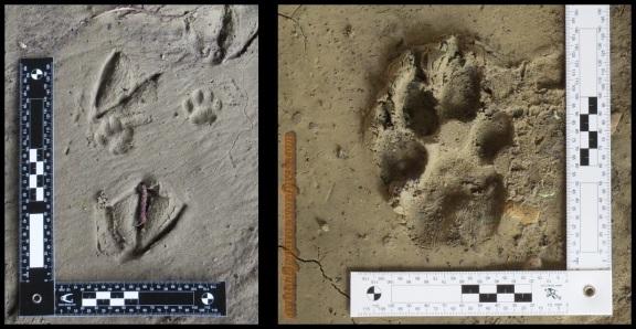 Huella de gato entre huellas de ánade y perro (15-3-2014)