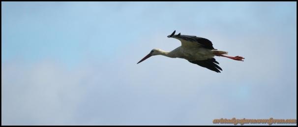 Cigüeña en vuelo (27-4-2014)