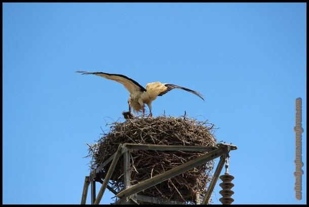 Cigüeña llegando al nido (27-4-2014)