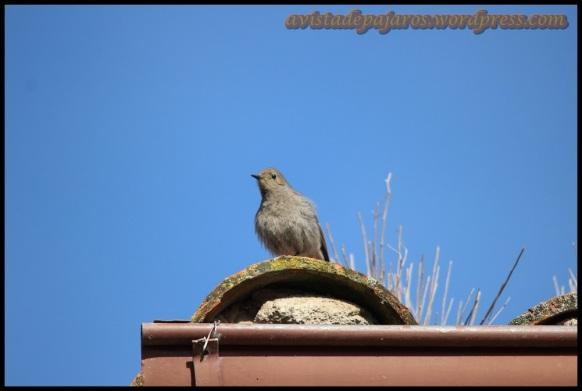 Colirrojo cantando en el tejado (27-4-2014)