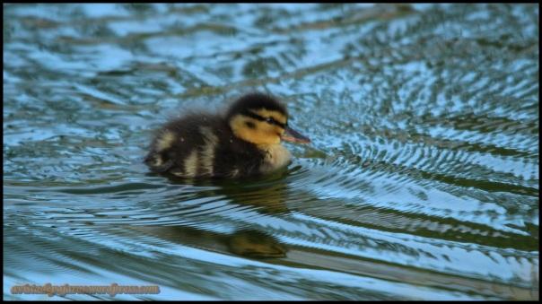 Patito nadando (25-4-2014)