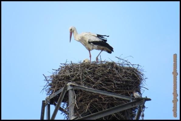 Cigüeñas en el nido (8-4-2014)