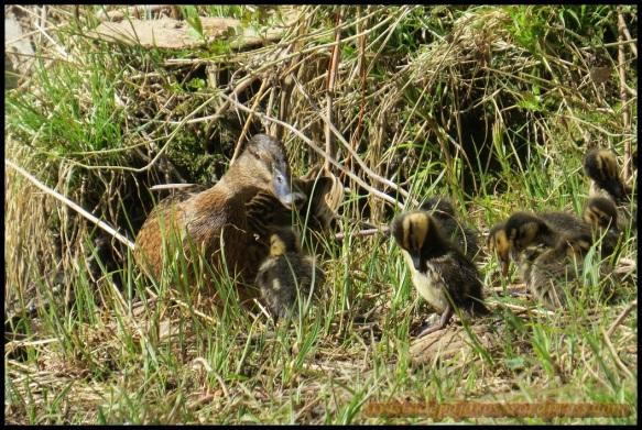 Los patos en la hierba (8-4-2014)