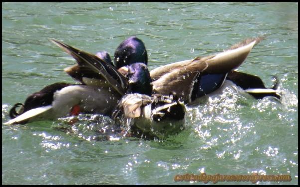 En plena pelea antes de que la hembra se fuese (8-4-2014)
