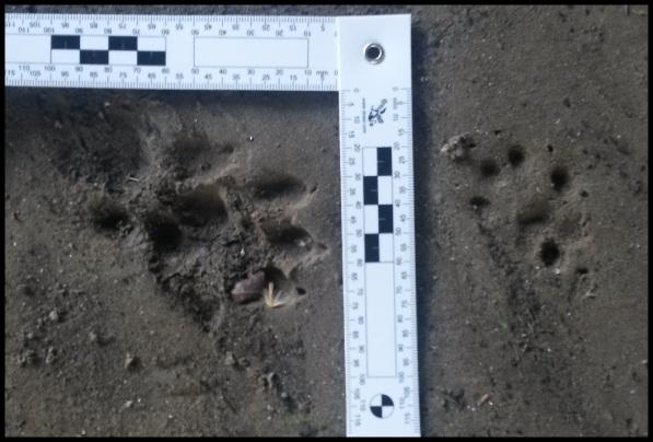 Huella de nutria a la izquierda y de garduña a la drecha (8-4-2014)