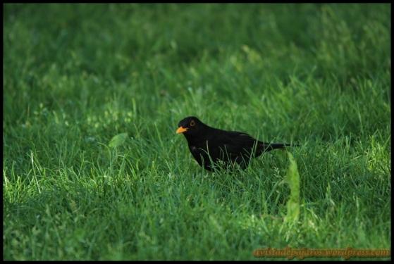 Mirlo entre hierbas también (25-4-2014)