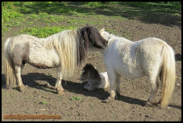 Ponys (27-4-2014)
