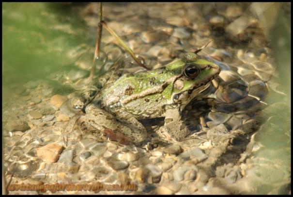 Rana verde (10-4-2014)
