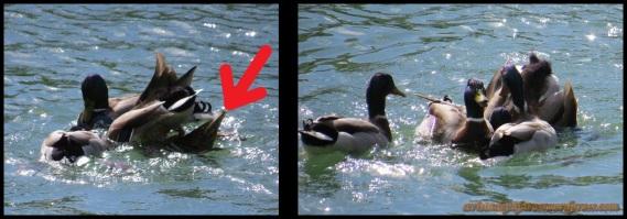 En plena reproducción; marcado con flecha roja el cuerpo de la hembra, que está medio hundido (8-4-2014)