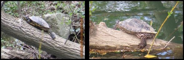 Tortugas de Florida (8-4-2014)