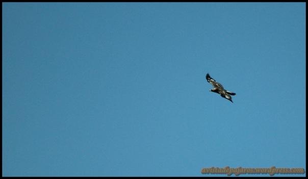 Joven de águila real (10-5-2014)