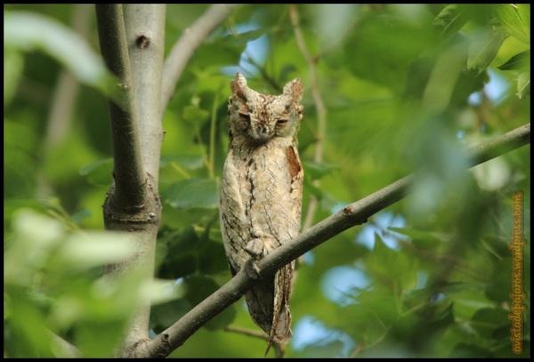 Autillo posado en una rama (31-5-2014)