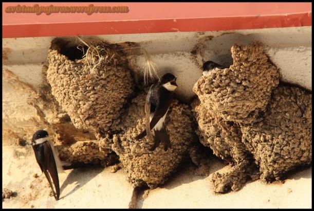 Aviones comunes en sus nidos (10-5-2014)