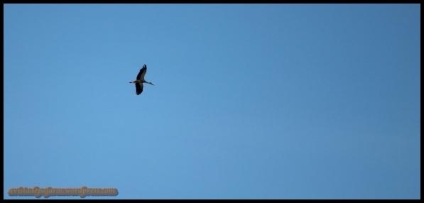 Cigüeña en vuelo (4-5-2014)