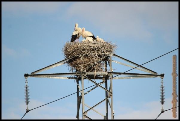 Cigüeñas en el nido (24-5-2014)