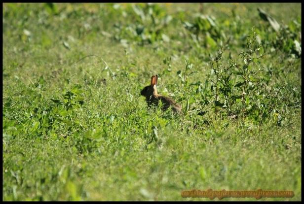 Conejo entre vegetación (18-5-2014)