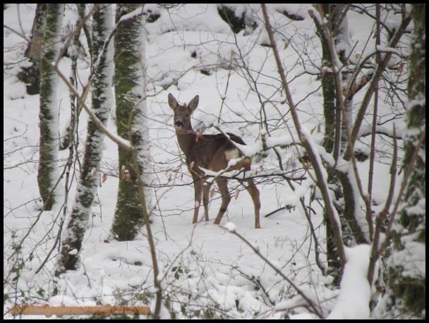 Corzo en su hábitat natural (3-2-2012)