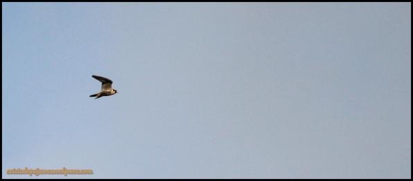 Peregrino en pleno vuelo (31-5-2014)