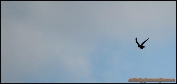 Halcón en pleno vuelo (24-5-2014)
