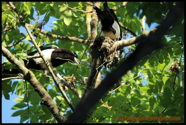 Picarazas construyendo el nido (18-5-2014)