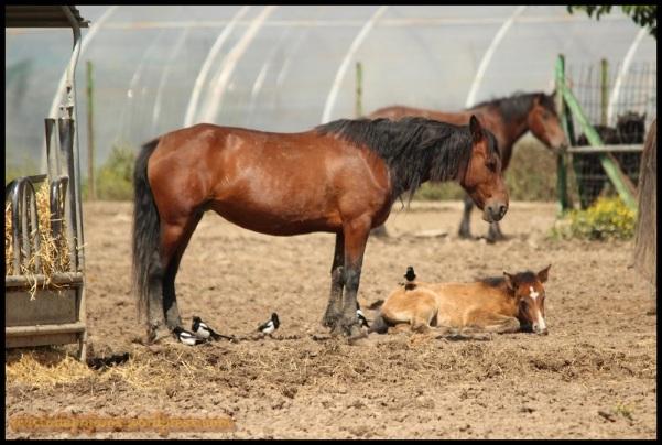 Picarazas con los caballos de Goñi (31-5-2014)