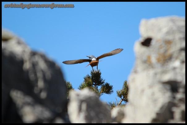 Roquero echando a volar (5-5-2014)