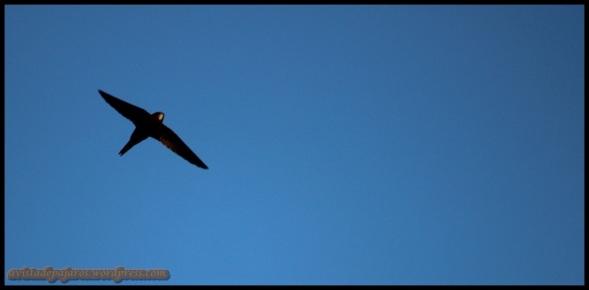 Vencejo en vuelo (18-5-2014)