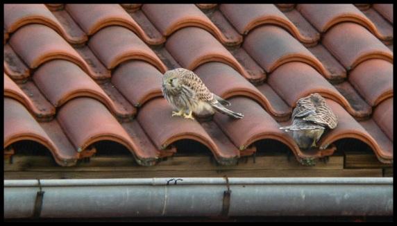 Dos ejemplares en el tejado; María Eugenia