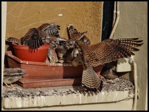 Polluelos siendo alimentados por la hembra; María Eugenia Oroz