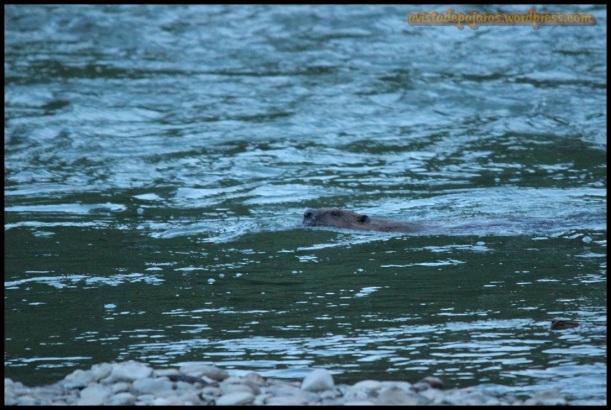 Nadando poco a poco aguas arriba (6-6-2014)