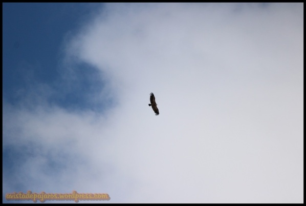 Buitre leonado en vuelo (31-5-2014)