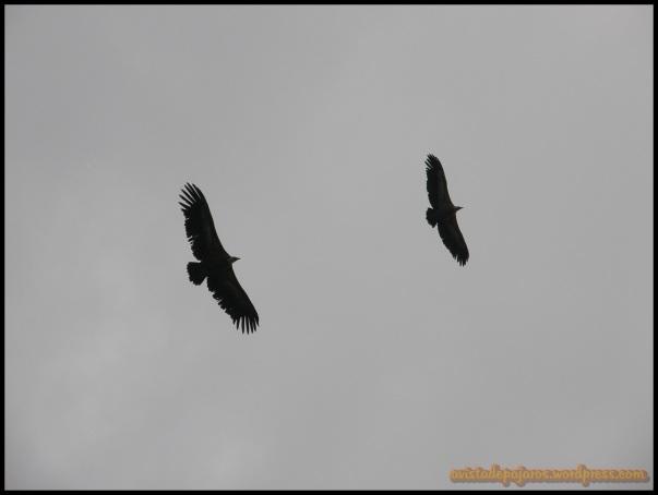 Buitres leonados en vuelo
