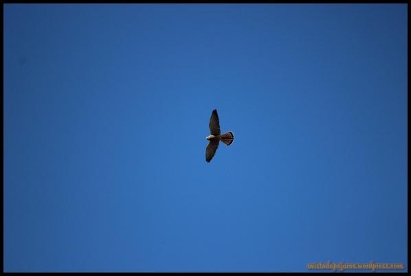 Cernícalo en vuelo (28-6-2014)