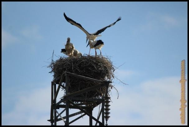 Cigüeñas, con una practicando el vuelo (16-6-2014)