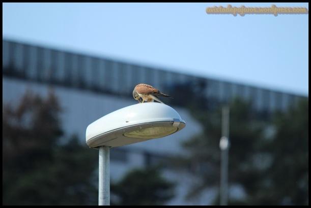 Cernícalo comiendo el ratón (27-6-2014)