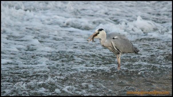 Con el pescado en el pico tragando poco a poco (9-6-2014)