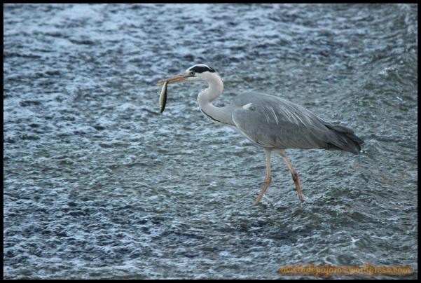 Garza con pez en la boca (6-6-2014)