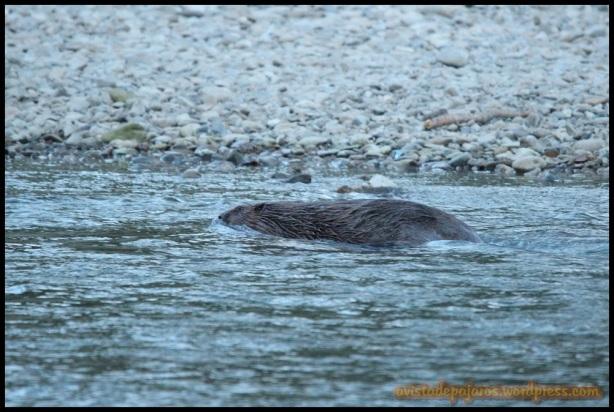 Castor nadando (6-6-2014)