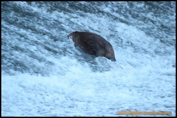 Castor en la presa (6-6-2014)